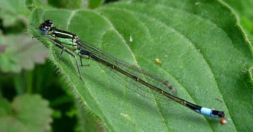 Blue-tailed Damselfly Ischnura elegans Tophill Low NR, East Yorkshire May 2015