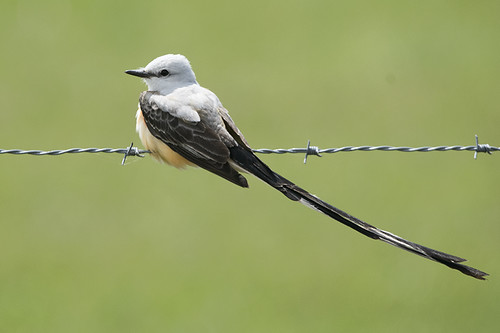 Louisiana: Scissor-tailed Flycatcher on the Wire