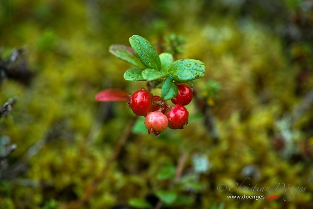 Mountain Cranberry