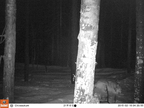 Chiwaukum Wolf, Feb 2015_4. All Rights Reserved CNW and CWMP
