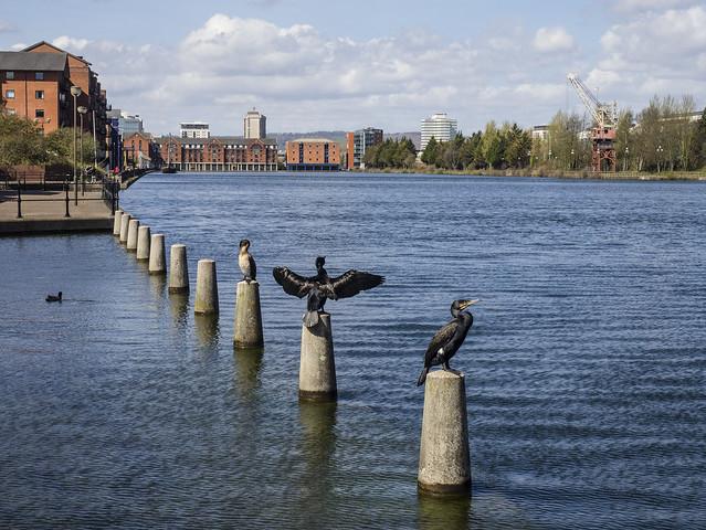 cormorants in Cardiff 455 (78)