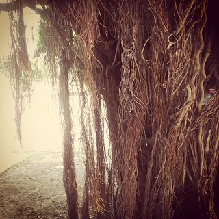 #roots #tree #arvore  #saoluis #maranhão #brasil #flora #brazilian  #brazil