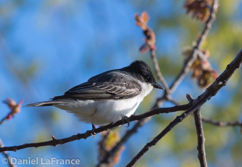 Eastern Kingbird (DOL-8858)