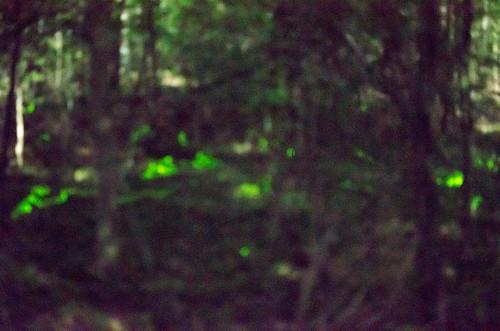 Blue Ghost Fireflies-2