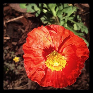 I fell in love with this Iceland Poppy while running errands at Home Depot, had to bring it home with me. Now it's being pretty in our front yard.