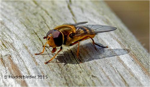 Sryphus Hoverfly