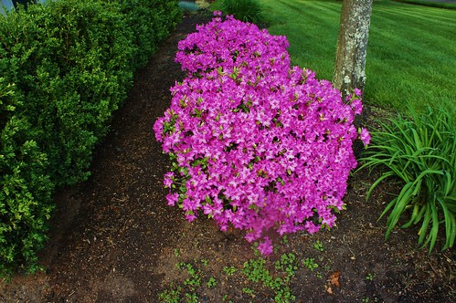 At Home:  Azaleas in Bloom