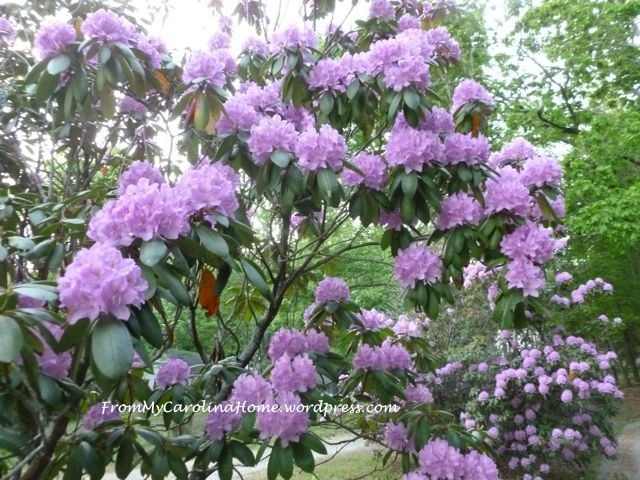 Rhododendrons purple 1