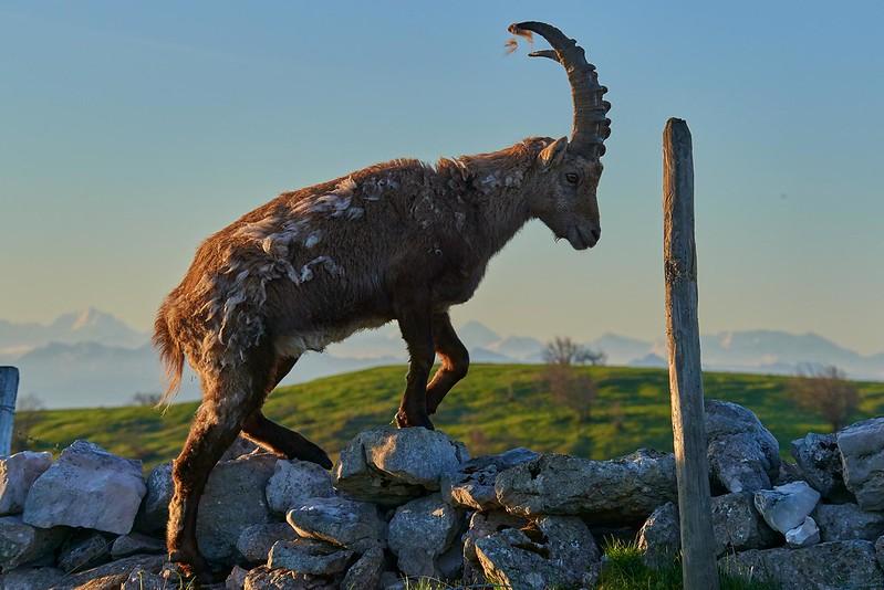 Alpine ibex on the wall - Creux du Van