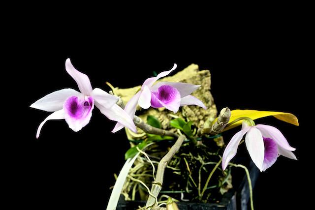 Dendrobium anosmum var huttonii 17416384500_8fa08543c4_z