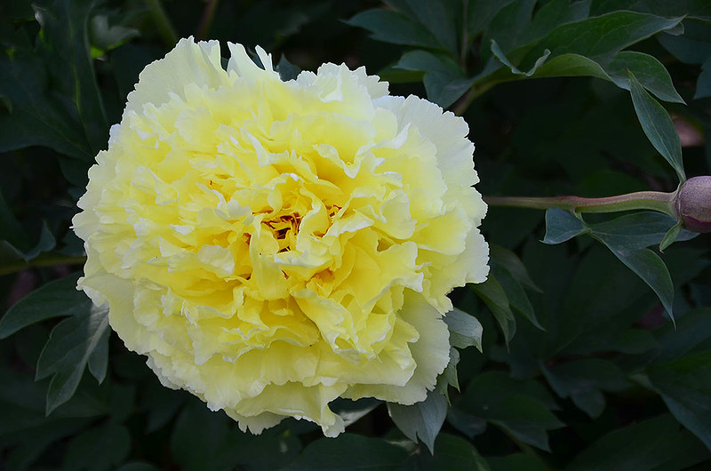 adelman-peony-garden-6-bartzella