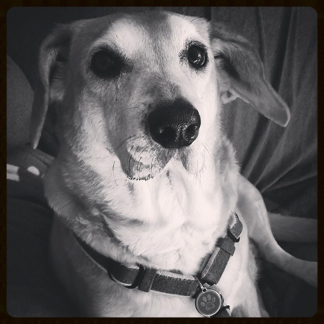 Sophie says Good Morning!  #rescueddogsofinstagram #muttstagram #houndmix #ilovemydogs #instadog #dogstagram #adoptdontshop