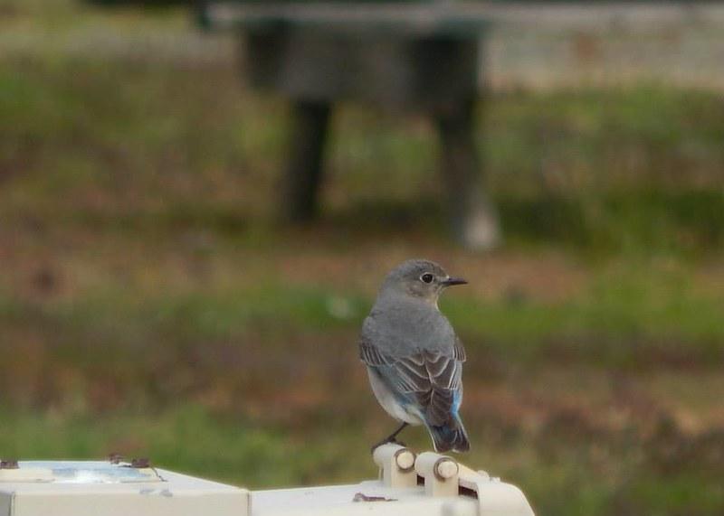 MtnBluebird