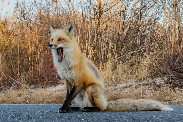 Red fox mouth open