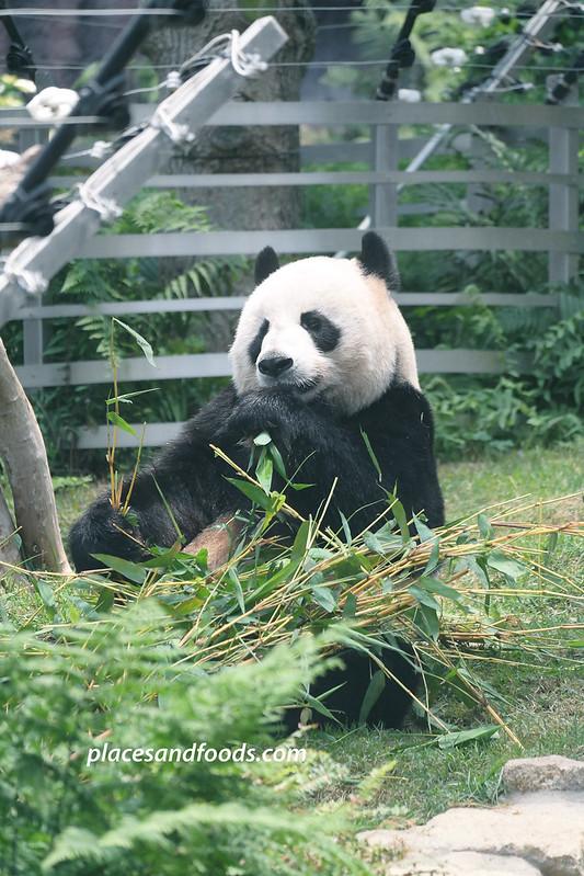 macau giant panda pavilion panda eating
