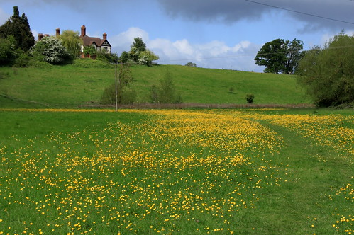 Eastbury Manor - walking between buttercups