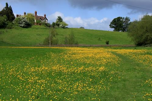 Eastbury Manor - walking between buttercups