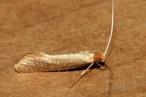 Nematopogon swammerdamella 6671