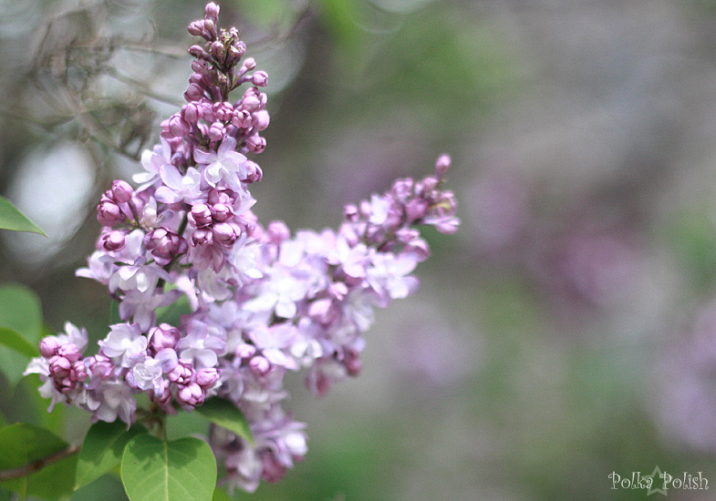 Lilac blossoms at Minuteman National Park