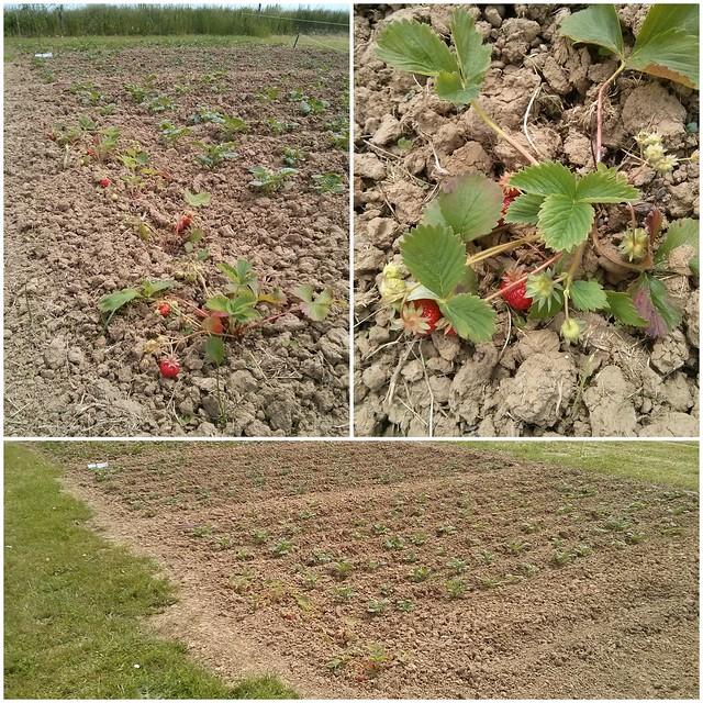 Notre potager et nos fraises