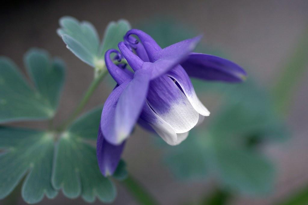 opening: Aquilegia flabellata (オダマキ)