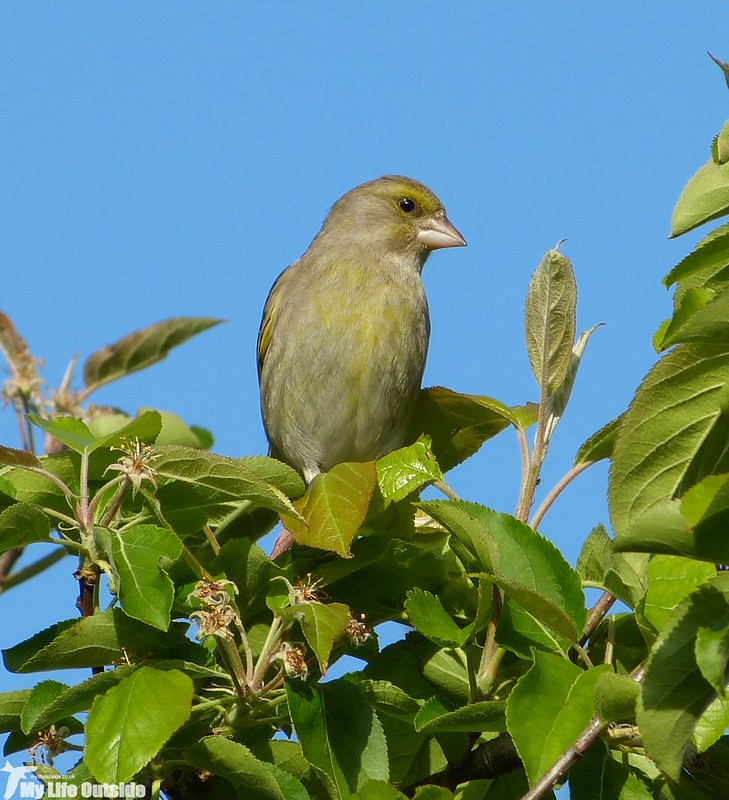 P1120801 - Greenfinch