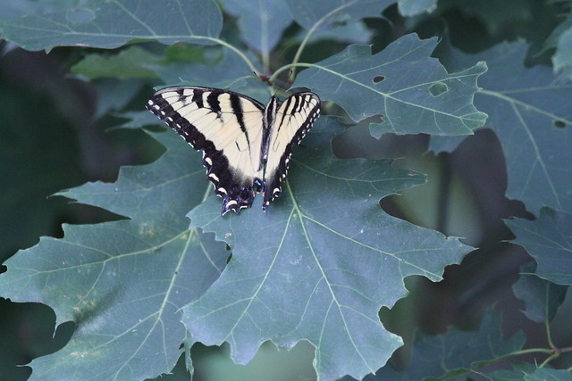 tiger swallowtail IMG_4745