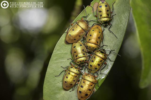 Metallic Jewel Bugs (Scutelleridae) gathering