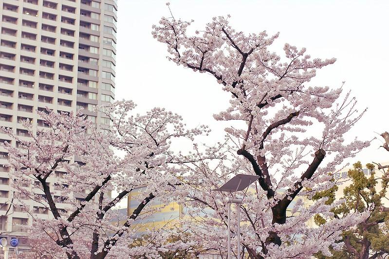 flower sakura hanami cherryblossom blossom blooms pink flower white japan tokyo