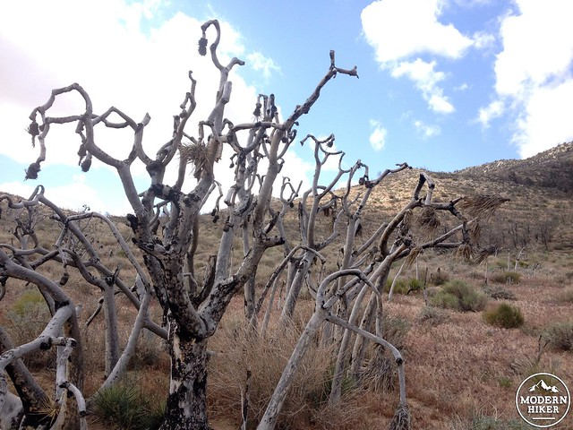 Burnt Joshua Tree