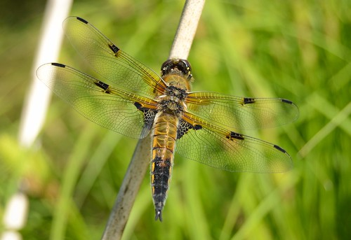 Vierfleck - Four-spotted Chaser - Libellula quadrimaculata