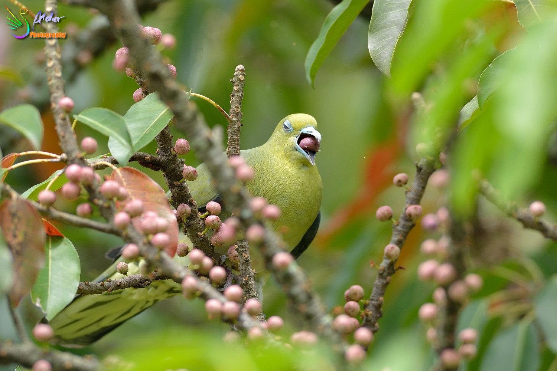 Japanese_Green_Pigeon_8639