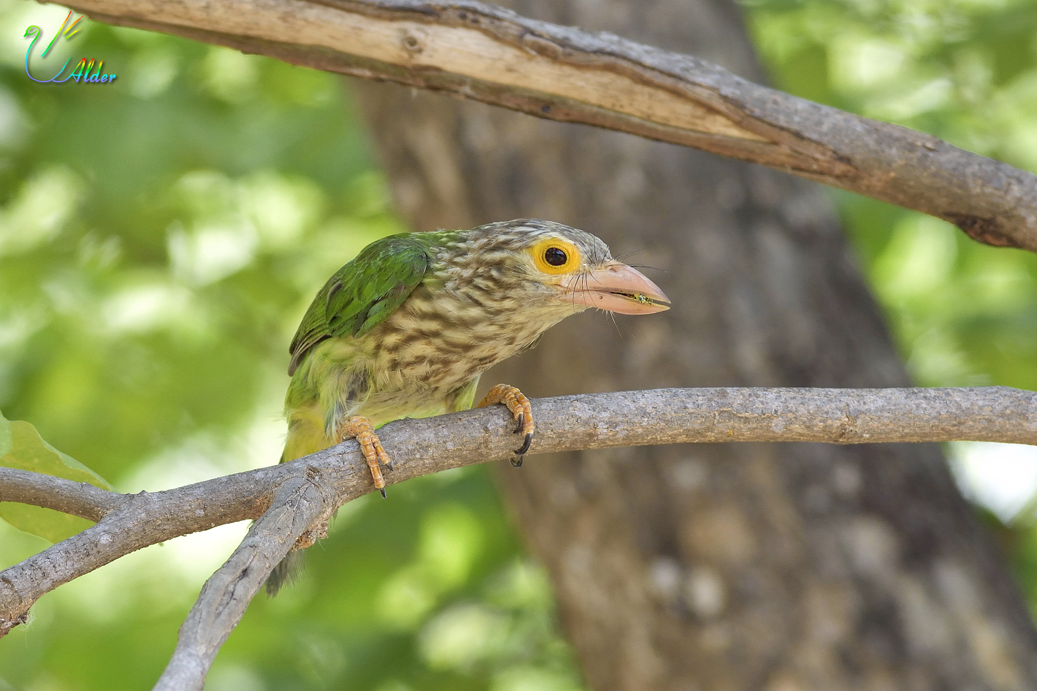 Lineated_Barbet_6826