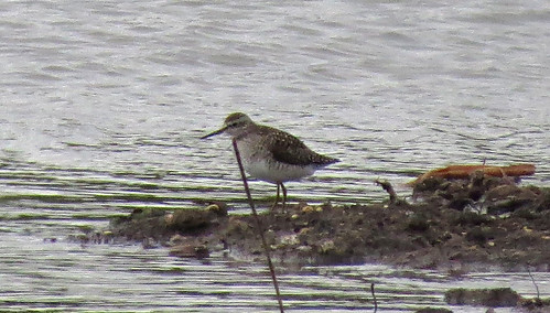 Wood Sandpiper Tringa glareola Tophill Low NR, East Yorkshire May 2015
