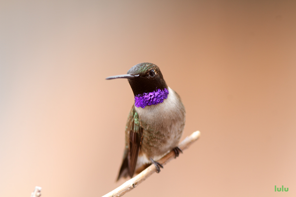 Black Chinned Hummingbird 050715