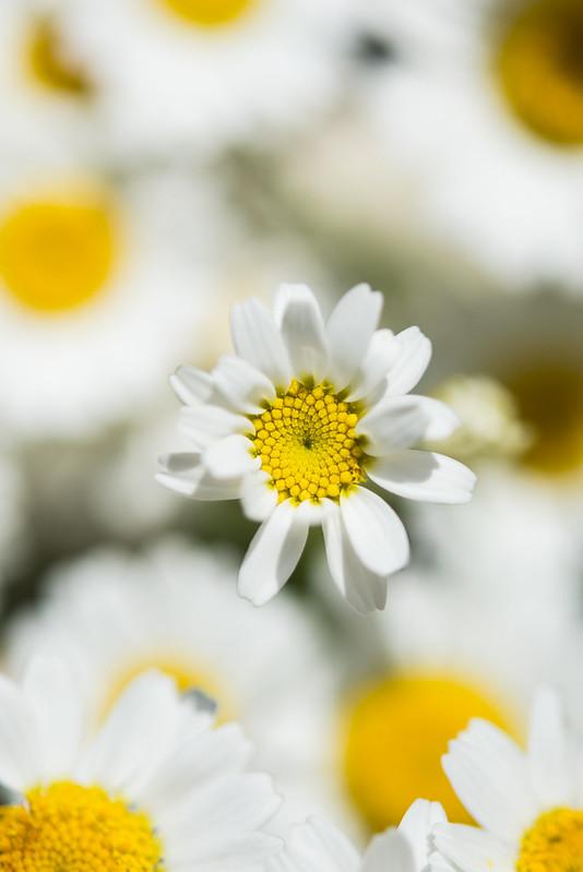 kornblumen