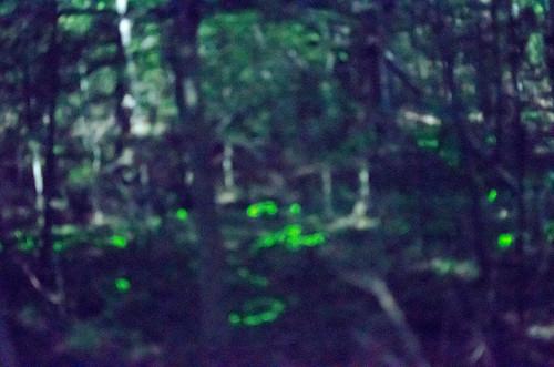 Blue Ghost Fireflies-5