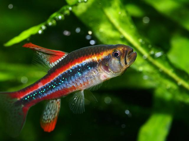 P5010790 珍珠燈魚