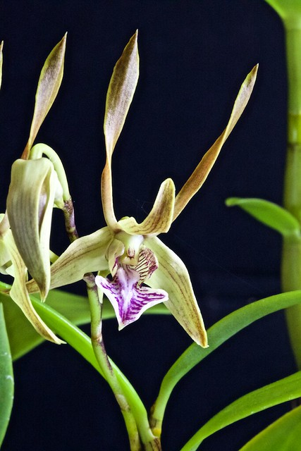 Dendrobium bicaudatum 18163839099_7aa62c9467_z