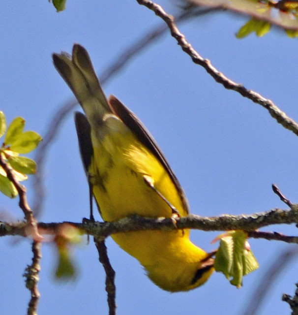 DSC_5369 Blue-winged Warbler (Vermivora cyanoptera ) FRENCHBORO Maine MAY29 2015 MJGood