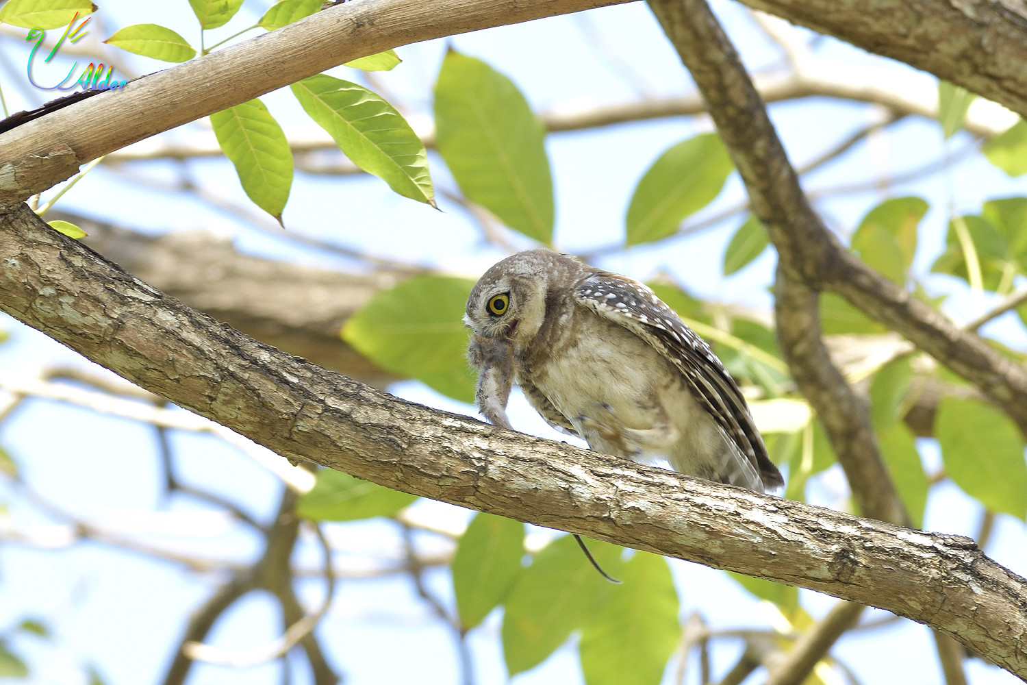 Spotted_Owlet_4593