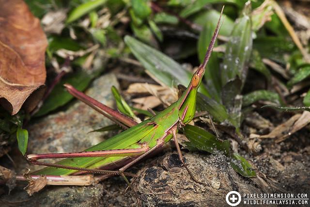 Greenish-Pink Slantfaced Grasshopper (Acrididae)