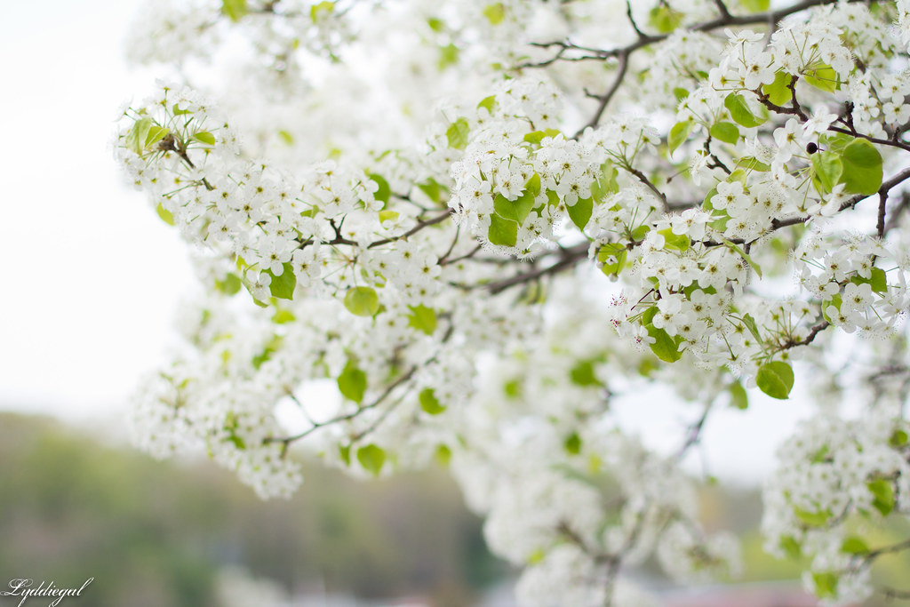 white flowering trees-1.jpg