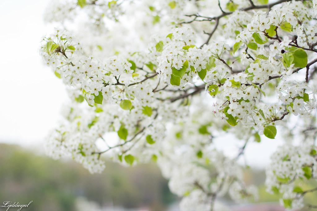 white flowering trees-1.jpg