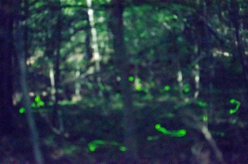 Blue Ghost Fireflies-3