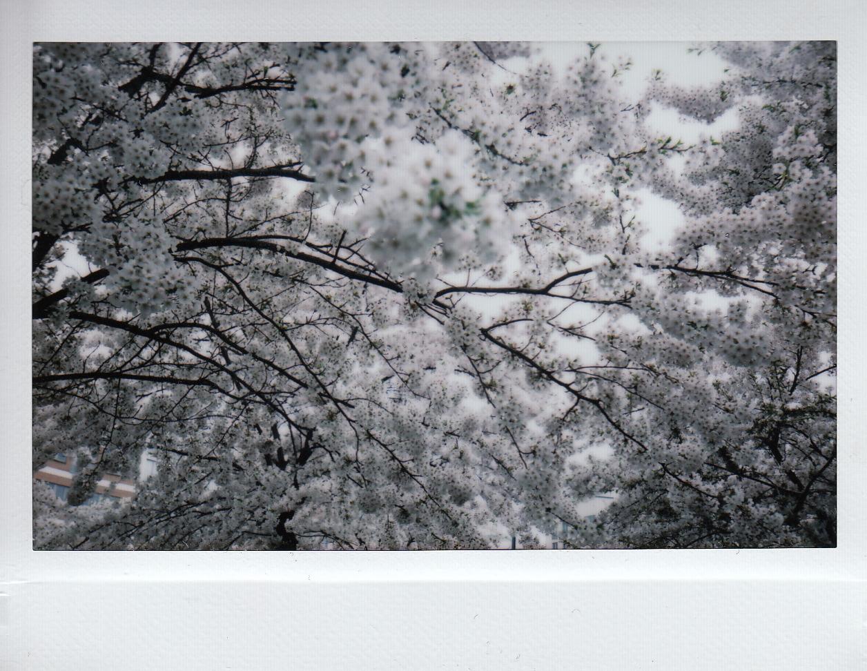 Vår och körsbärsblom.