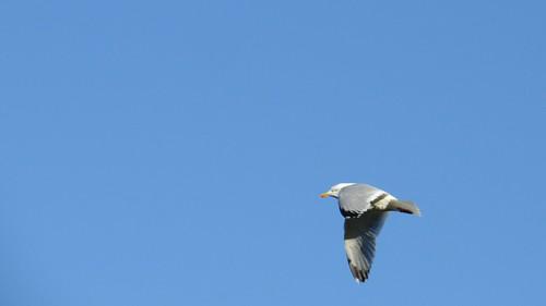 365 Herring Gull - Larus argentatus