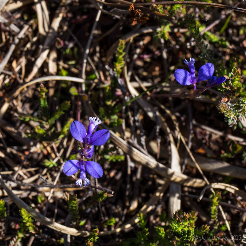 Heath Milkwort