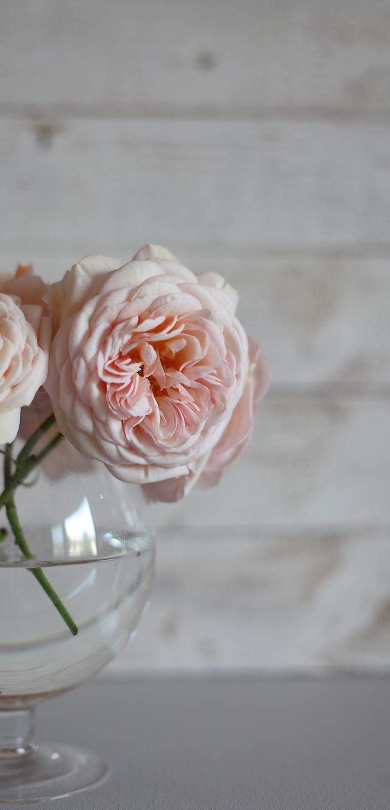 Rose 008