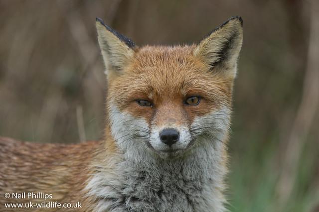 Wet fox-9